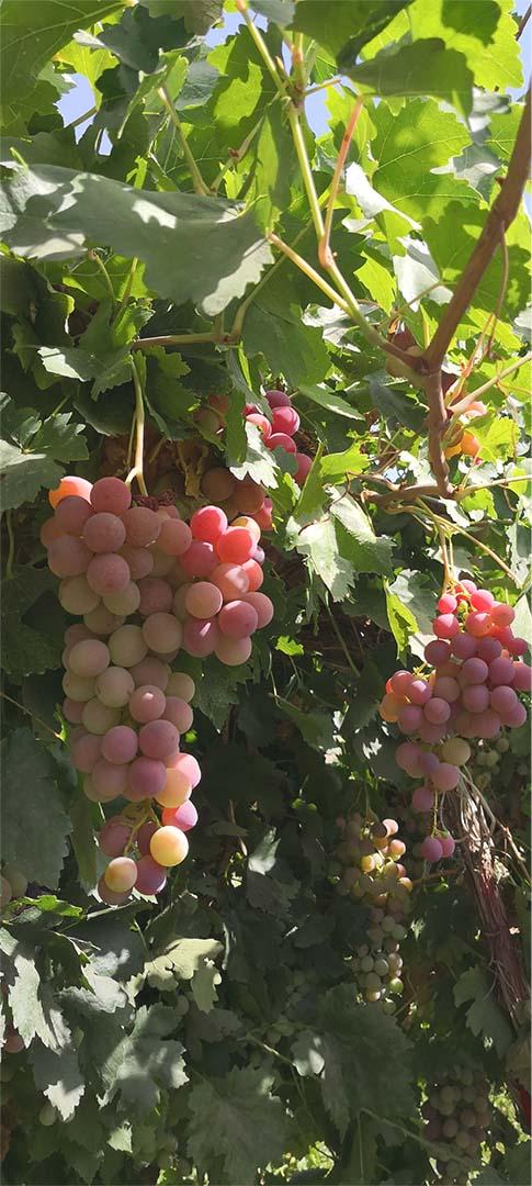 grape 4