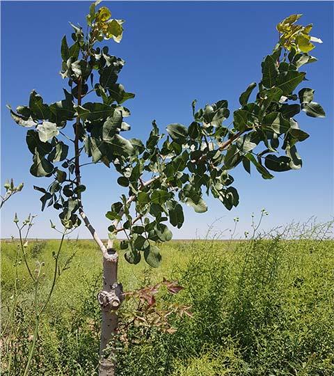 pistachio 2